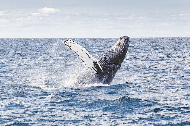 A humpback whale, one of the many species of whales that makes its home in the waters of the tri-state area.