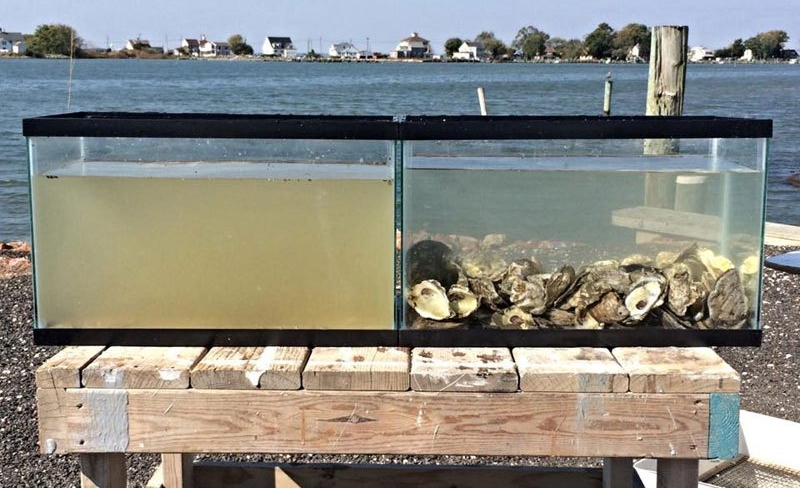 Each tank was filled with water from the same source. After two hours, the water in the tank with oysters is much cleaner. (Photo by Maryland Seafood)